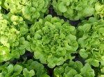 .. kräftigere Pflanzen und höhere Erträge dank Mykorrhiza